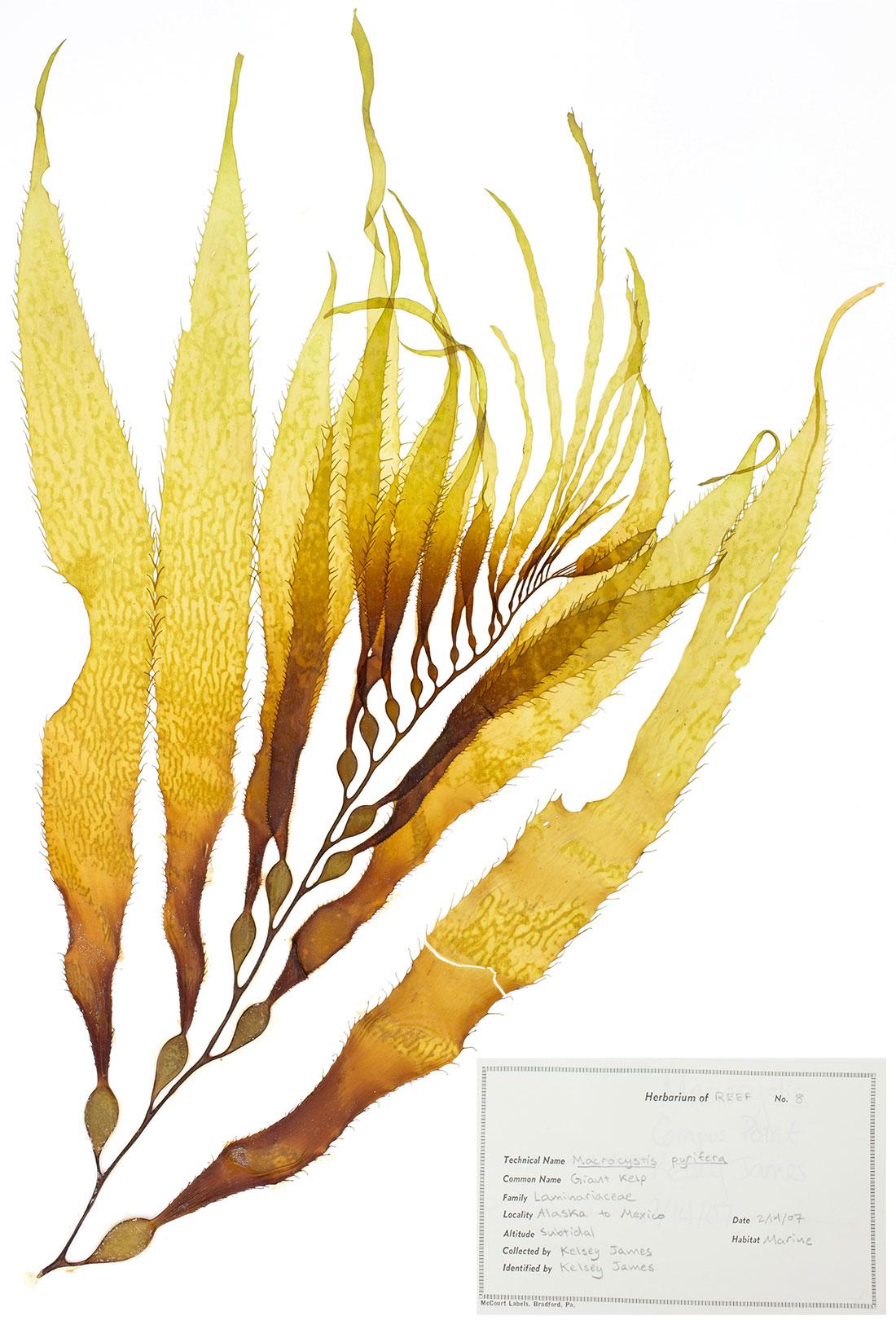 Laminariacea
